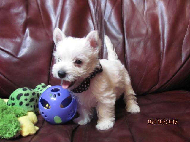 Nancy's Westies - Daisy's Litter of Westie Puppies for Sale