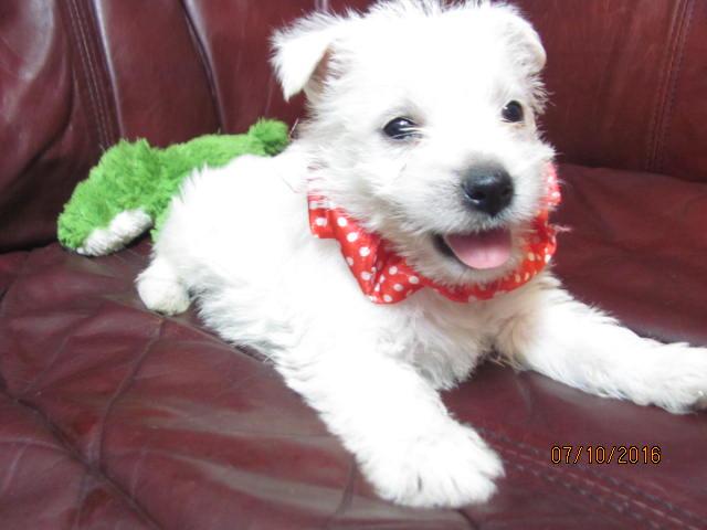 Nancy S Westies Daisy S Litter Of Westie Puppies For Sale