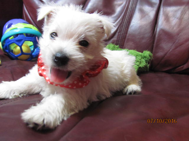 Nancy's Westies - Daisy's Litter of Westie Puppies for Sale