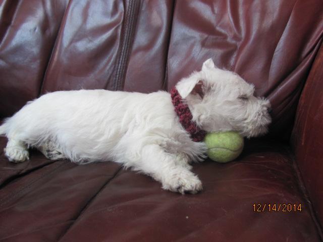 Nancy's Westies - Gracee's Litter of Westie Puppies for Sale