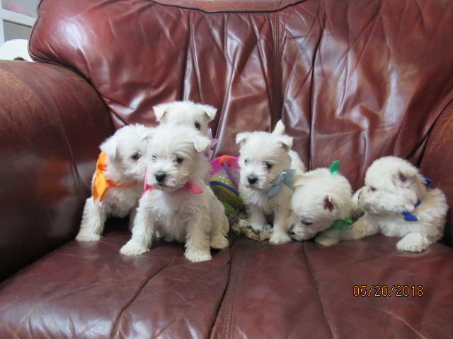 Nancy's Westies - Hillary's Litter of Westie Puppies for Sale
