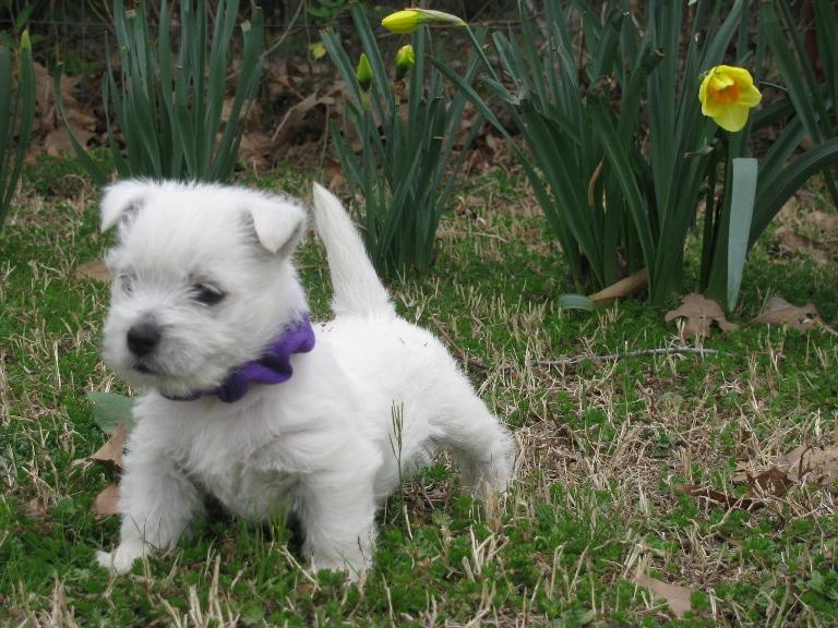 Nancy's Westies - Home raised, loving family pets