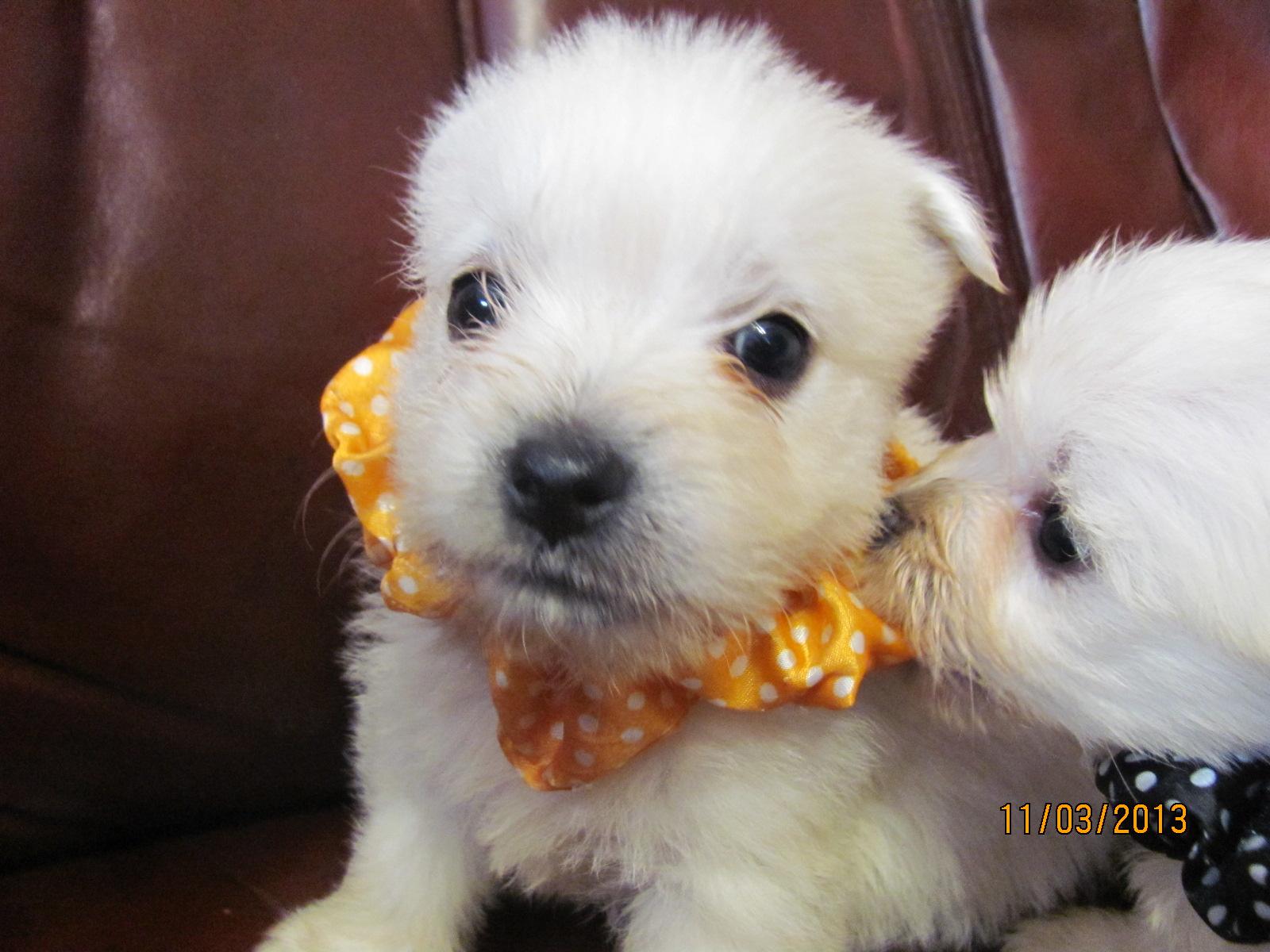 Nancy S Westies Peigi S Litter Of Westie Puppies For Sale